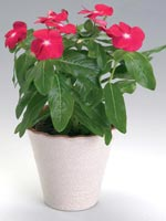 Rosensköna, Catharanthus roseus