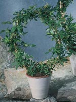 Dvärgcissus, Cissus striata