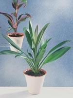 Bloddracena, Cordyline fruticosa