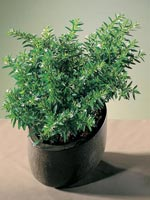 Isopskufea, Cuphea hyssopifolia