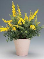 Ginst, Cytisus maderensis
