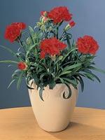 Trädgårdsnejlika, Dianthus caryophyllus