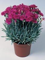 Bergnejlika, Dianthus gratianopolitamus