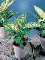 Prickblad, Dieffenbachia seguine