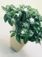 Blek ruellia, Dipteracanthus devosianus