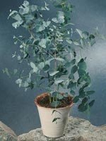 Eukalyptus, Eucalyptus