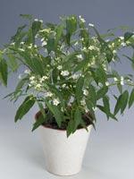 Korallband, Euphorbia fulgens