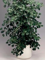 Pillerfikus, Ficus deltoidea