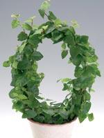 Klätterfikus, Ficus pumila