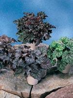 Alunrot, Heuchera hybrid
