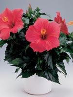 Hibiskus, Hibiscus rosa-sinensis
