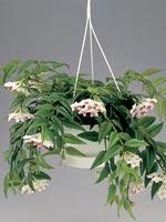 Australisk porslinsblomma, Hoya bella