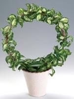 Australisk porslinsblomma, Hoya carnosa