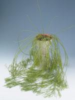 Smalbladig porslinsblomma, Hoya linearis