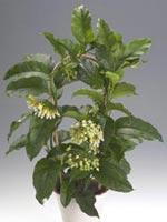 Raketporslinsblomma, Hoya multiflora