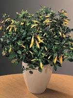 Vinterjakobinia, Justicia rizzinii syn. Jacobinia pauciflora