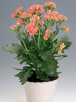 Kalanchoe blossfeldiana-hybrid 'African'®, Kalanchoe