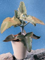 Kamelhårskalankoe, Kalanchoe beharensis