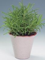 Smalt livsblad, Myrdaling, Tusenmoder, Kalanchoe tubiflora