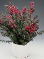 Rosenmyrten, Leptospermum scoparium