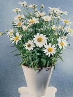Prästkrage, Leucanthemum maximum
