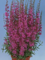 Fackelblomster, Lythrum salicaria