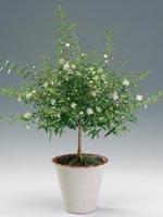 Myrten, Myrtus communis