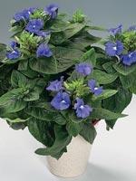 Violax, Otacanthus caeruleus, Atlantis®