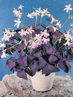 Triangeloxalis, Oxalis triangularis