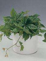 Kinavildvin, Parthenocissus henryana