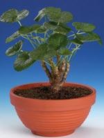 Sankthelenapelargon, Pelargonium cotyledonis