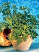 Rosengeranium, Doftgeranium, Doktor Westerlunds hälsoblomma, Pelargonium graveolens