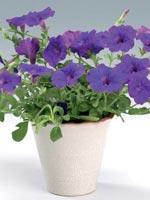 Petunia, Petunia x hybrida