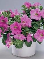 Surfinia, Petunia x hybrida Surfinia® - serien