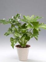 Fjäderkalla, Fjäderranka, Jätteblad, Philodendron bipinnatifidum