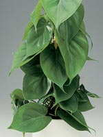Klätterkalla, Philodendron hederaceum syn. Philodendron scandens