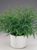 Gallergräs, Miniatyrbambu, Bambugräs, Pogonatherum paniceum