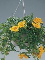 Praktportlak, Portulaca grandiflora