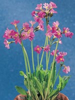 Rosenviva, Primula rosea
