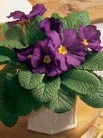Jordviva, Primula vulgaris