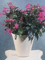 Röd marmorbuske, Pseuderanthemum atropurpureum
