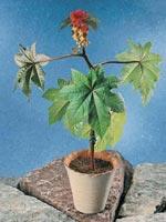 Ricin, Ricinus communis