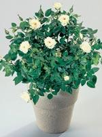 Krukros, Rosa-hybrider