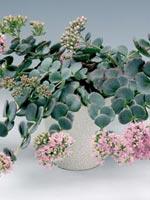 Japansk kärleksört, Hylotelephium sieboldii syn. Sedum sieboldii