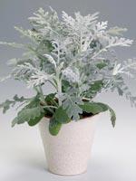 Silverek, Senecio cineraria syn. Senecio bicolor