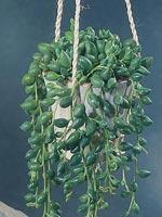 Blå pärlstånds, Senecio citriformis