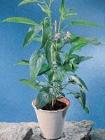 Pepino, Solanum muricatum