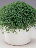 Hemtrevnad, Soleirolia soleirolii