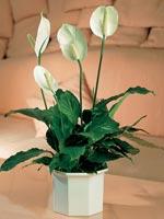 Fredskalla, Spathiphyllum wallisii