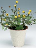 Parakrasse, Acmella oleracea syn. Spilanthes oleracea